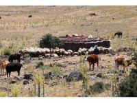 Yaylalarda yaşanan susuzluk nedeniyle hayvan ölümleri başladı