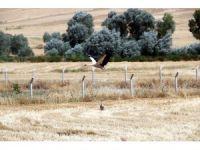 Leyleklerden tarlalardaki biyolojik mücadeleye katkı