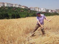 Başkent'in orta yerindeki köyde hasat heyecanı