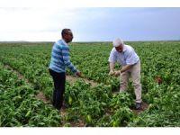 Biga'da tarlaları dolu vurdu