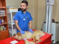 Hayvanseverin sahiplendiği felçli köpek tedavi altına alındı