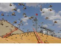 Binlerce güvercin akın etti