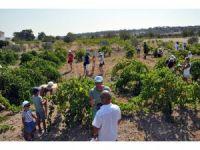 Turistler, KKTC'de üzüm hasadına katıldı
