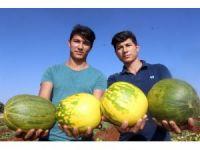 Sulama olmayan köyde yağmur suyu ile organik kavun yetişiyor