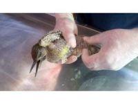 Yaralı halde bulunan çulluk kuşu tedavi altına alındı