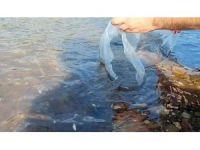 Çanakkale'de 105 bin sazan yavrusu göletlere salındı