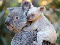 Avustralya'da beyaz koala heyecanı