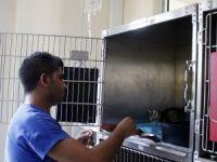 Derisi yüzülen kediyi 'Dost' kurtardı