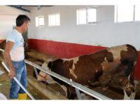 Kurban pazarının en büyüğü 'Gaddar' adlı tosun 16 bin 250 liraya satıldı