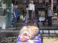 Marmara Denizi'nde 1.2 tonluk köpek balığı yakalandı