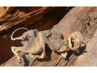 500 yıllık ağacın içinden çıkan hayvan fosili şaşırttı