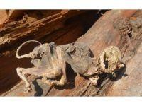 (düzeltme) 500 yıllık ağacın içinden çıkan hayvan iskeleti şaşırttı