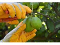 Muğla'da limon hasadı başladı