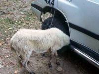 Aracın çamurluğuna kafası sıkışan kuzuyu itfaiye kurtardı