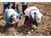 Afyonkarahisar'da patates satış fiyatları bu yıl üreticisinin yüzünü güldürdü