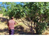 İncirde hasat sezonu sona erdi, altın yılını yaşayan üretici mutlu