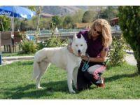 Maganda kurşunuyla ayağını kaybeden Sibirya kurdu hayata tutundu