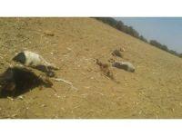Kurtlar 6 keçiyi telef etti