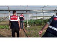 Organik tarım adı altında Hint keneviri yetiştiren 2 kişi yakalandı