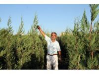 Yaz kış yeşil kalan bitkiye büyük talep