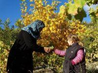 Domaniç'te üzüm hasadı başladı