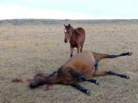 At Hırsızları, Kendileri ile Gelmek İstemeyen Atı Yavrusunun Önünde Vurdular