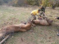 Çiftleşme kavgasında tellere takılan 2 geyikten biri telef oldu