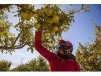 Ahlat'ta elma hasadı başladı