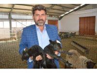 Ukrayna'dan getirdiği koyunlar yılda 8 yavru veriyor