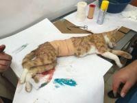 Yavruları anne karnında ölen kedi sezeryan ile kurtarıldı