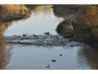 Kars Çayı yeşilbaş ördeklere ev sahipliği yapıyor