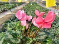 Çiçek ihracatında yüzde 49'luk pay sahibi Hollanda ile ortak proje