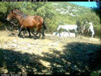 Aydın'da yılkı atları fotokapanla görüntülendi