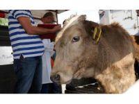 Genç çiftçilere büyükbaş hayvan dağıtıldı