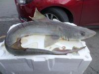 Marmara Denizi'nde yavru köpek balığı yakalandı