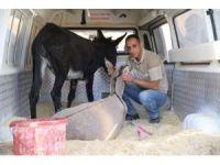 Ayağı kırılan iki eşek tedavi için İstanbul'a gönderildi