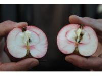 Ardahan'ın içi de dışı da kırmızı elması tescillenecek