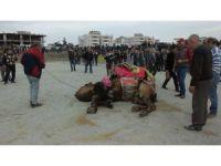 Burhaniye'de güreşçi 82 deveye havut giydirildi