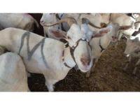 Balıkesir'de 2 keçi ile çobanlığa başlayan muhtar binlerce keçi ve oğlak yetiştirdi
