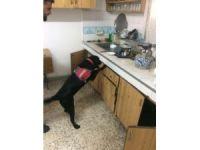 Eğitimli dedektör köpek 'Limit'ten kaçış yok