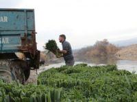 Mersin'de pırasa hasadı başladı