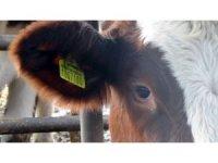 Hayvancılara 'küpe' uyarısı