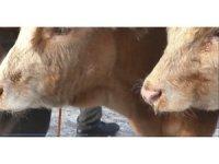 Ağrı hayvan pazarında hayvanların ağzı ve burnu buz tuttu