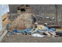 Kayıp 5 kişilik aileye ait çoban köpekleri, enkaz alanından ayrılmıyor