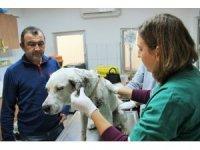 Vücuduna yüzlerce saçma isabet eden köpek koruma altına alındı