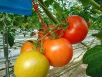 Jeotermal ısıtmalı serada üretilen domatesler ihraç ediliyor