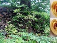'Amanos öğrek otu' dünya bitki literatürüne girdi