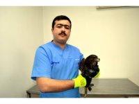 Avcıların vurduğu yaralı şahin tedavi altına alındı