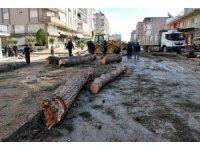 Salihli'de çürüme nedeniyle tehlike oluşturan ağaçlar kesildi