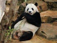 Malezya'daki 'diplomat pandalar'ın yavrusu oldu